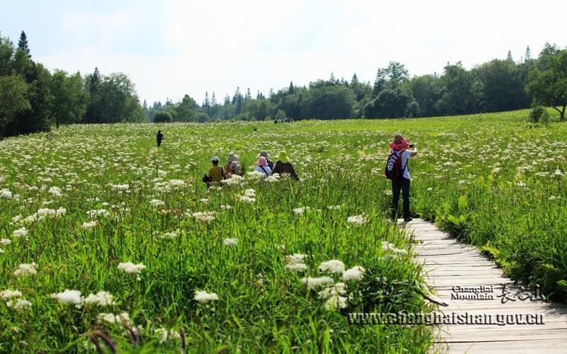 长白山高山花园:七月鲜花 悄然盛开