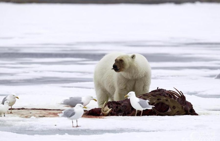 2015年7月7日消息(具体拍摄时间不详),北冰洋斯瓦尔巴特群岛,一只北极熊撕咬啃食海象的尸体,不料鲜血粘了一脸变成了红脸。摄影师Franco Banfi的船被困在了这只北极熊附近的冰内,在等待冰融化的时候摄影师捕捉到了这些镜头。图片来源: CFP