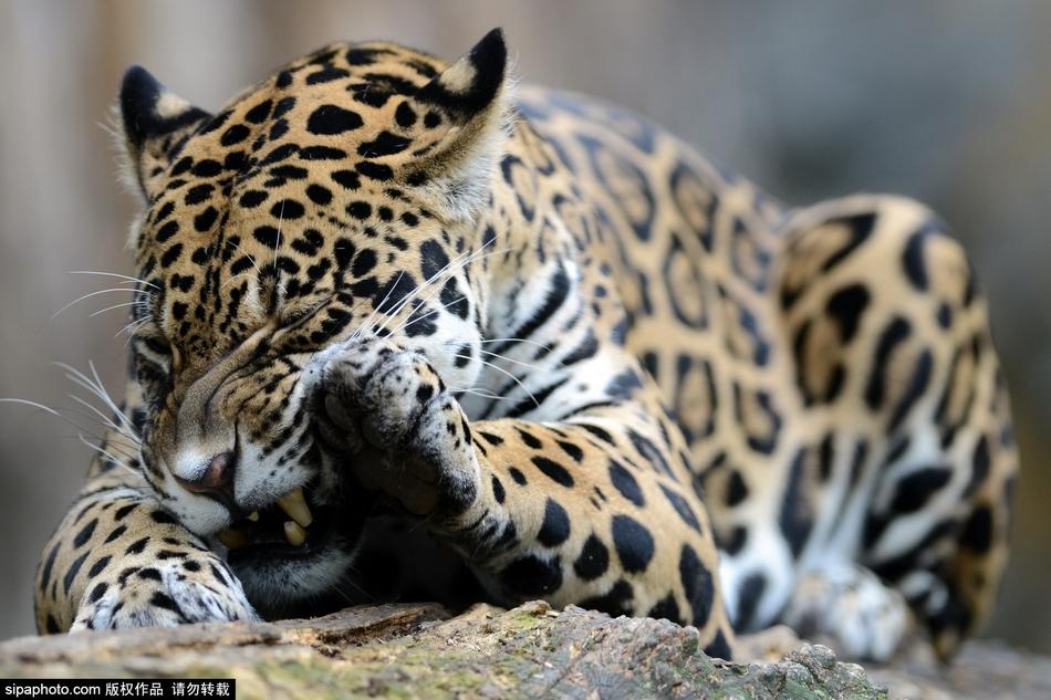 大型猫科动物里属于豹属的大猫,猎豹不在其中!