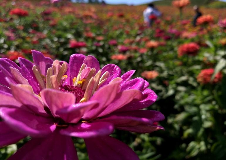 """8月27日,桦郊乡的友谊花海里盛开的鲜花,带给游人""""海的震撼"""""""