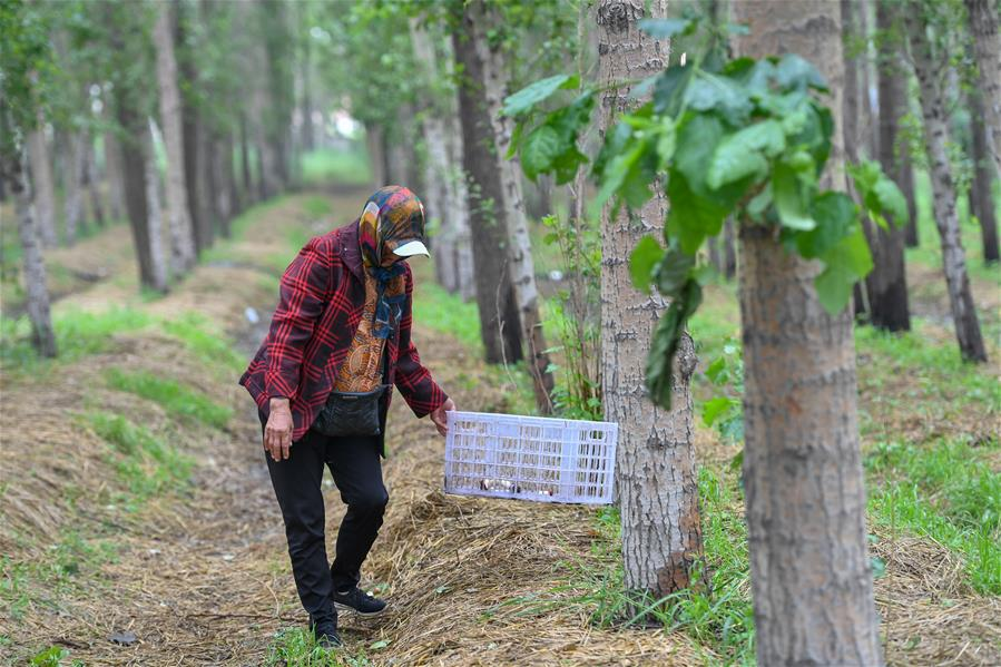 (經濟)(5)吉林梨樹:林下增收  土地增産