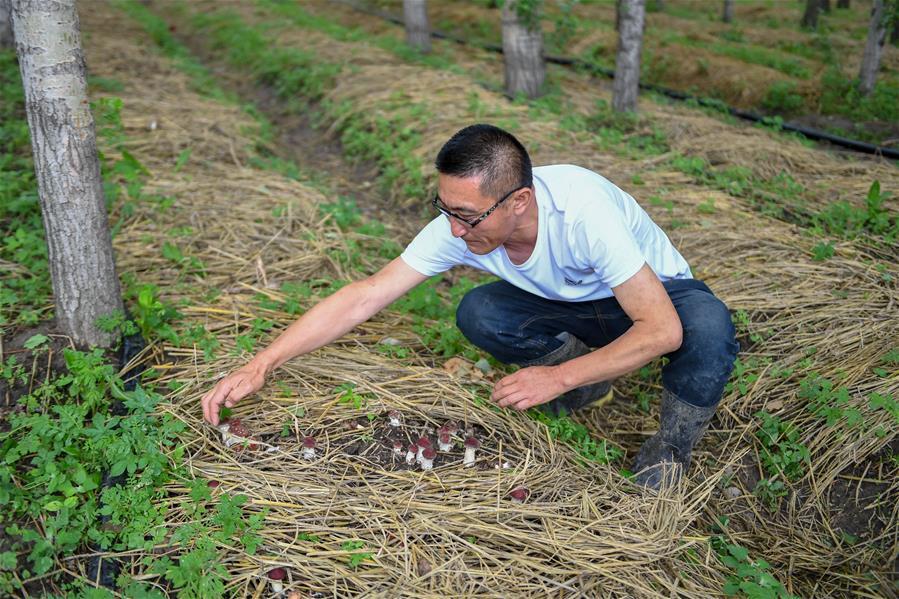 (經濟)(3)吉林梨樹:林下增收  土地增産
