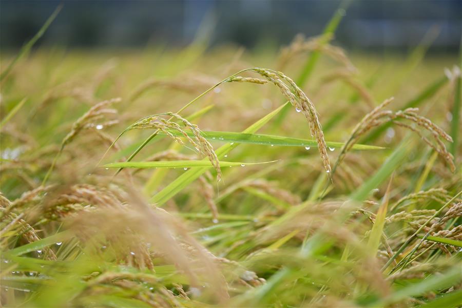 (经济)(1)吉林延边:稻谷飘香 收获在望