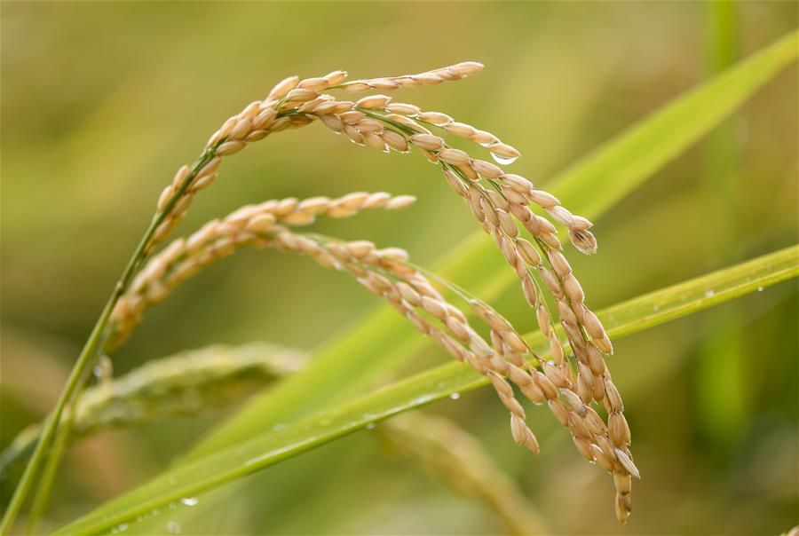 (经济)(3)吉林延边:稻谷飘香 收获在望
