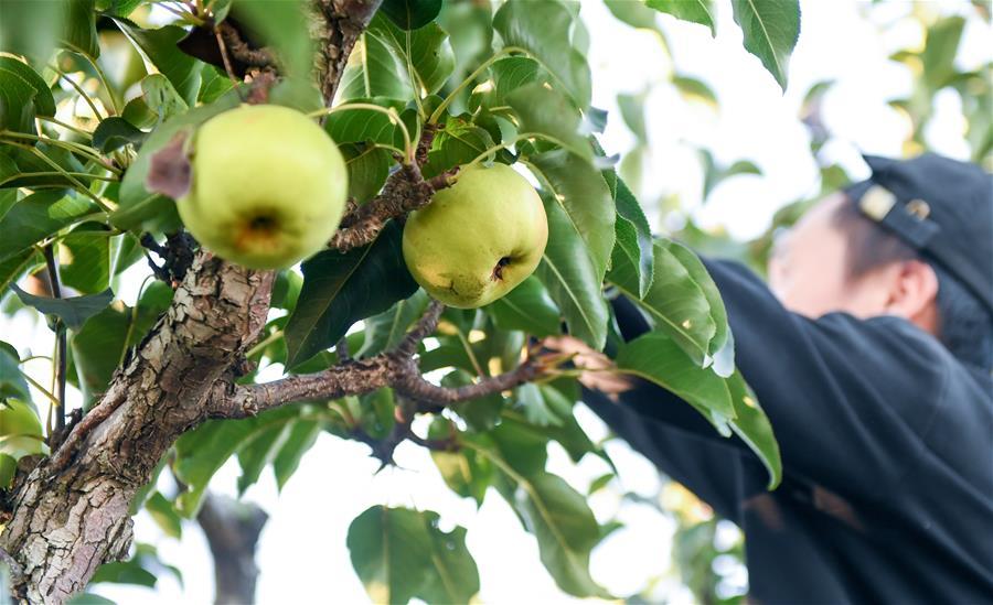 (經濟)(3)吉林延邊:蘋果梨迎來收獲季