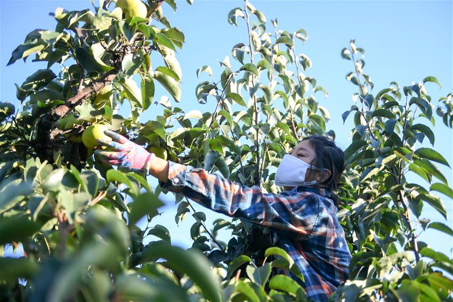 (經濟)(1)吉林延邊:蘋果梨迎來收獲季