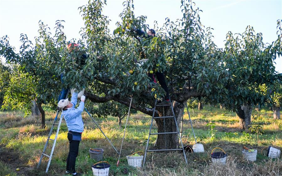 (經濟)(5)吉林延邊:蘋果梨迎來收獲季