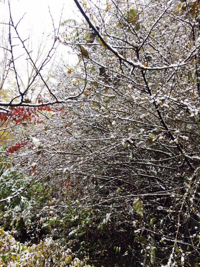 绵绵白雪与尚未凋零的树枝,树叶,果实构成一幅美丽的北国城市肖像.