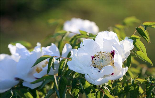 盛花期到來 長春上千市民涌入牡丹園賞花