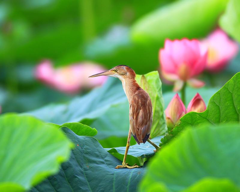 黃斑葦鳽鳥