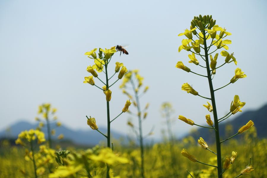 吉林省集安市萬畝油菜花海進入盛花期