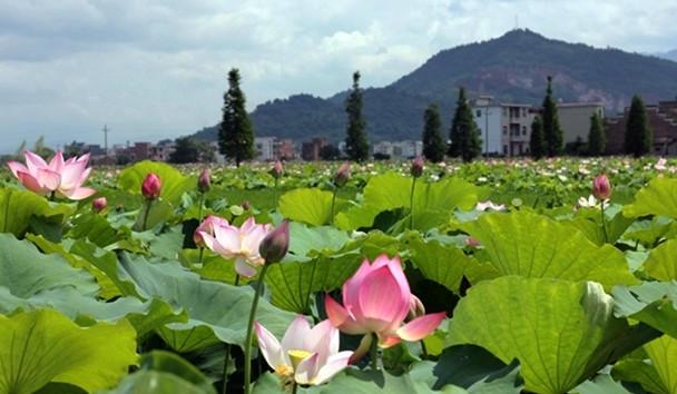 查幹湖第二屆蓮花文化旅遊節7月22日開幕