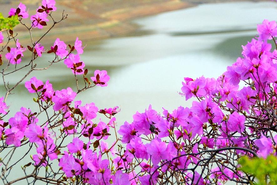 桦甸:杜鹃花开春意浓