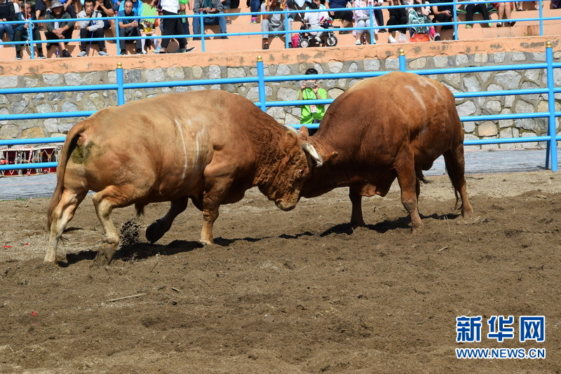 第十一屆圖們江鬥牛節開幕
