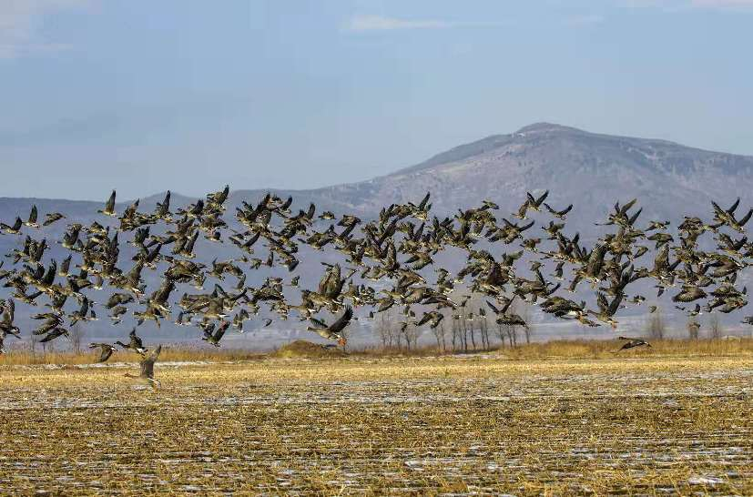 吉林琿春敬信濕地迎來候鳥遷徙高峰