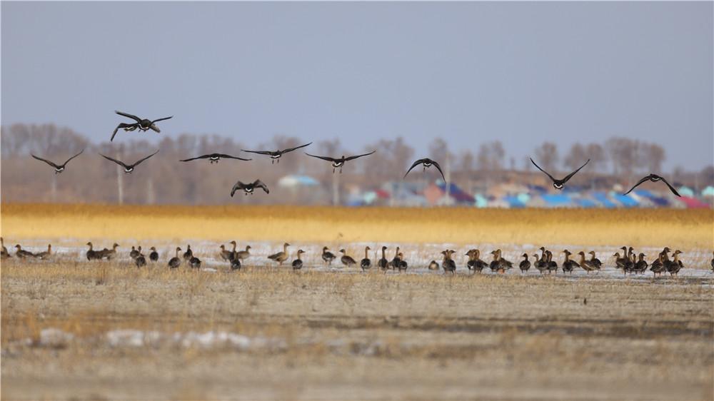 吉林省鎮賚縣莫莫格迎來近百只北歸大雁