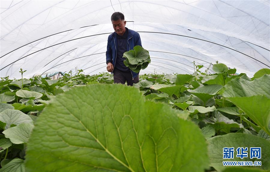 吉林安圖:山野菜經濟富農家