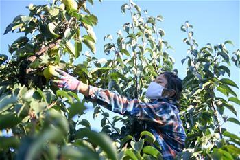 吉林延边:苹果梨迎来收获季
