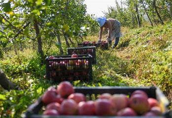 蘋果飄香豐收忙