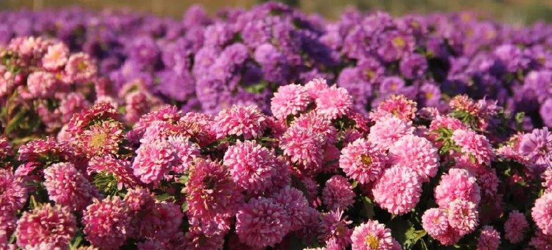 美哉莲花山:醉人的花儿
