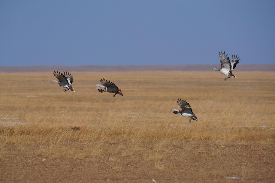 吉林白城发现珍稀物种大鸨雌、雄越冬种群