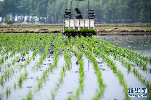 吉林镇赉:水稻插秧忙